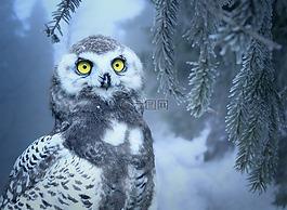 貓頭鷹,雪,雪貓頭鷹