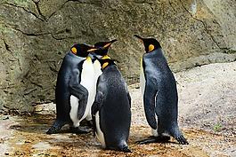 王企鵝,企鵝,群企鵝
