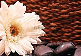 非洲菊,花,开花