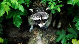 浣熊,动物,野生动物