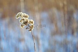 加拿大一枝黄花,干厂,冬季