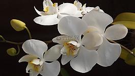 orquidea,花卉,愛情