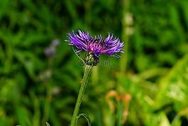 山-flockenblume,花,开花