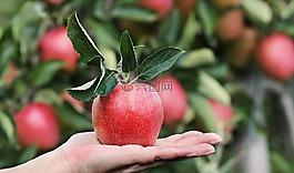 蘋果,紅色,紅蘋果