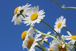 雛菊,花,春天