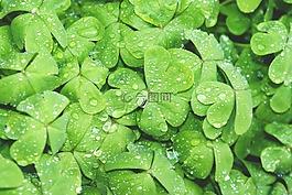 clovers,绿色,湿