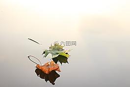枫叶,枫,叶子