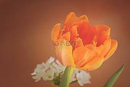 郁金香,花,开花