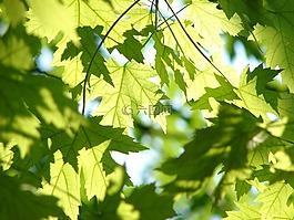 叶子,夏天,绿色