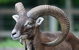歐洲盤羊,歐洲,歐洲歐洲盤羊