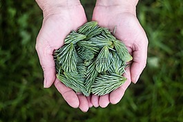 松树叶,绿色,手
