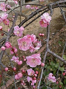 梅花,紅梅花,春天