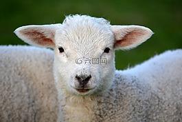 羊肉,春天,性質