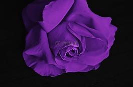 玫瑰,花,爱