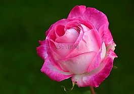 玫瑰,粉红色,粉红色的玫瑰