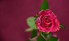 玫瑰,邀请,优惠券