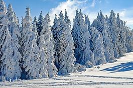寒冬,雪,冷杉