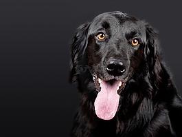 狗,hovawart,黑色