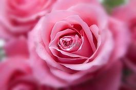 玫瑰,粉紅色,家庭