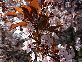 春天,棵開花的樹,春天的花朵
