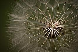 蒲公英,夏季,草地