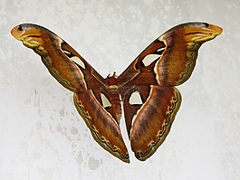 蝴蝶,蚕蛾,夜
