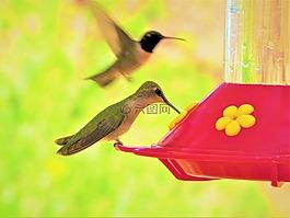 蜂鳥,多彩,綠色