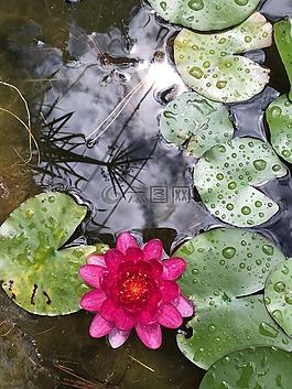 睡蓮,盆地,水