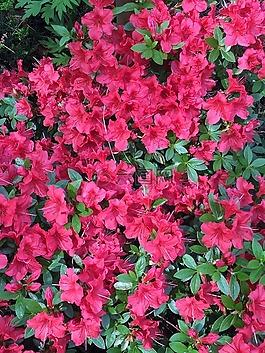 山茶花,粉紅色,開花