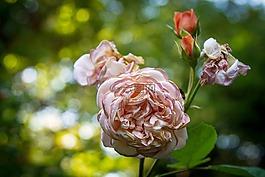 玫瑰,盛開,開花