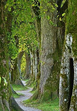 樹木,老,大道