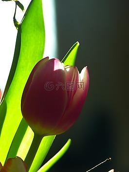 郁金香,开花,粉红色