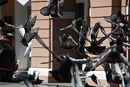 鴿子,鳥,巖鴿