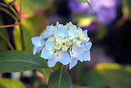绣球,花,花园