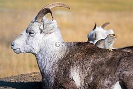 山羊,野生動物,自然
