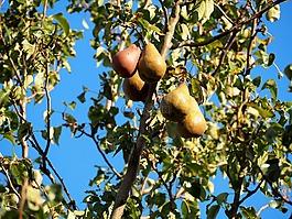 梨子,梨,水果
