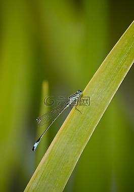 蜻蜓,草,芦苇