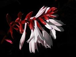 鲜花,红色,白