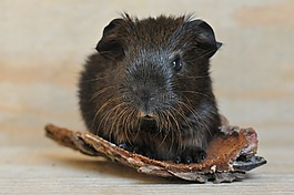 金刺鼠,豚鼠,年轻的动物