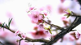 008-怒放的桃花延時視頻素材