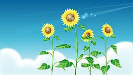 夏季藍天向日葵背景