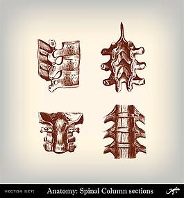 人體脊椎插畫圖片