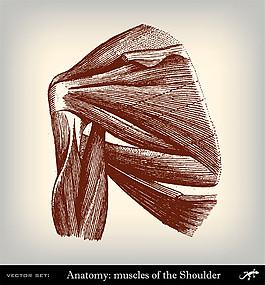人體肩膀肌肉圖片