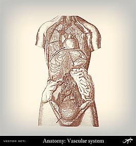 人體解剖插圖圖片