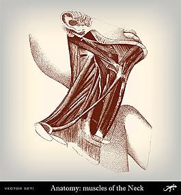 人體頸部肌肉圖片