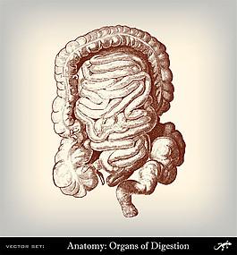 人體腸胃素描圖片