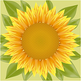 写实风格向日葵插图背景