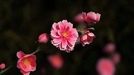 3d模型一支桃花带贴图带灯光