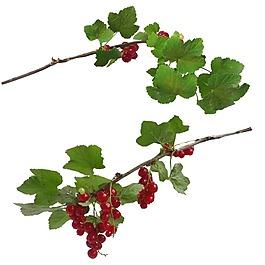 红色葡萄绿枝png元素