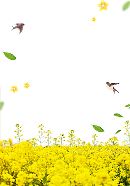 春季賞油菜花背景